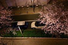 多摩堤通りの桜トンネルが