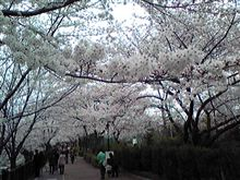 名古屋 桜状況