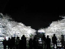 名古屋 夜桜ライトアップ