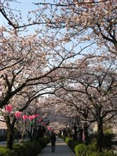 お堀端通りの桜