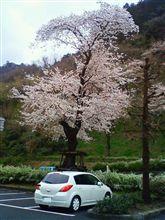 桜 TIIDA
