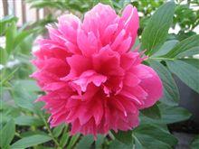 我が家の花 080430:赤色芍薬編