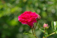 バラが咲いたよ(^^)