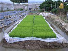餅米の苗を並べてみた。
