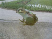 カエルが・・・。