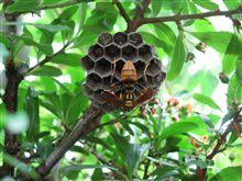 庭のハンター! アシナガバチ