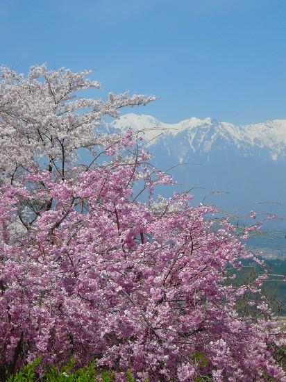 長野県某所にて、桜とVTR250F