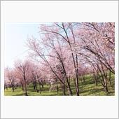 160508キトウシの桜。
