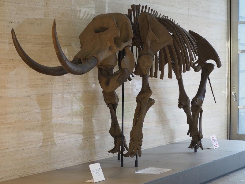 アケボノゾウ骨格標本(複製)
