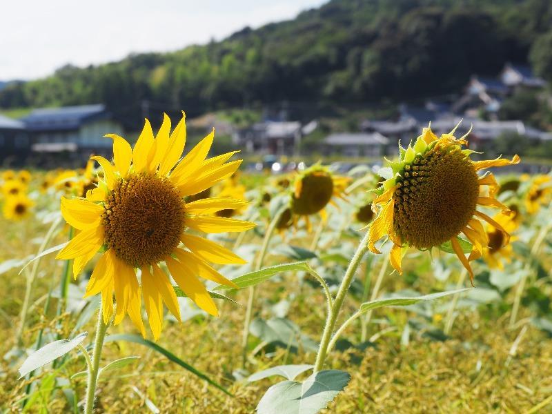 大垣ひまわり畑(青野)
