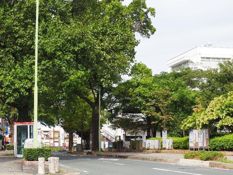 豊橋市役所 ユリノキ並木