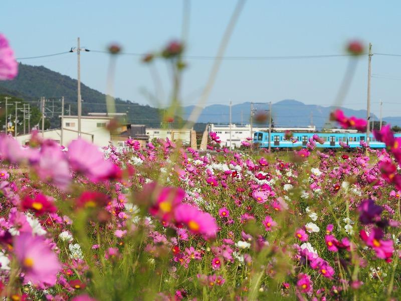 近江八幡コスモス畑 近江鉄道(1)