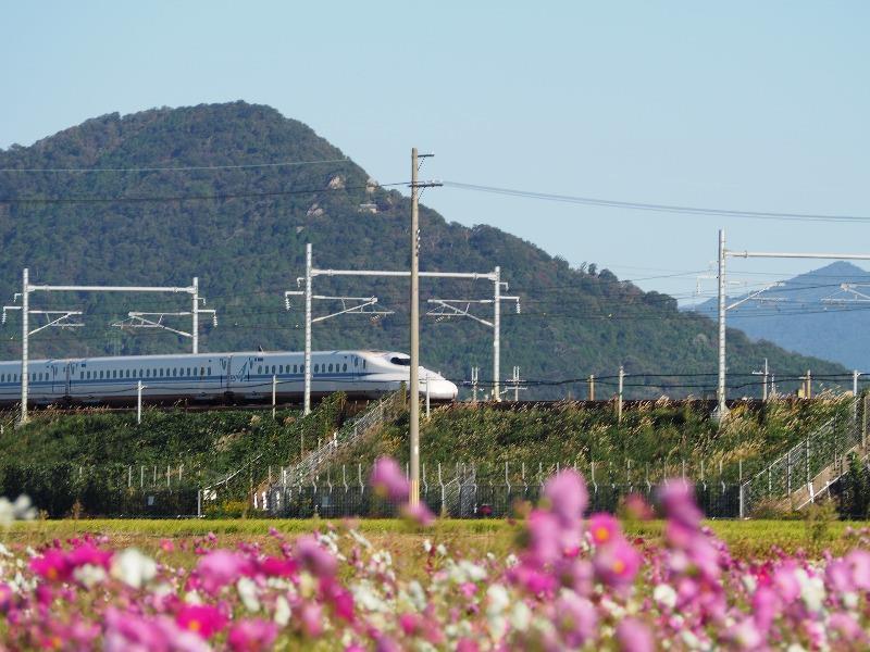 近江八幡コスモス畑 東海道新幹線(1)