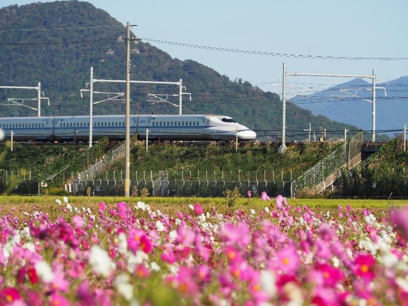 近江八幡コスモス畑 東海道新幹線(2)