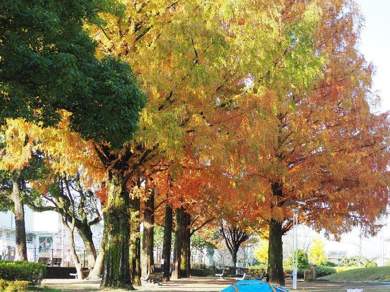 長良公園 メタセコイア並木