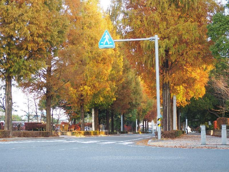 ソフトピアジャパン メタセコイア並木(2)
