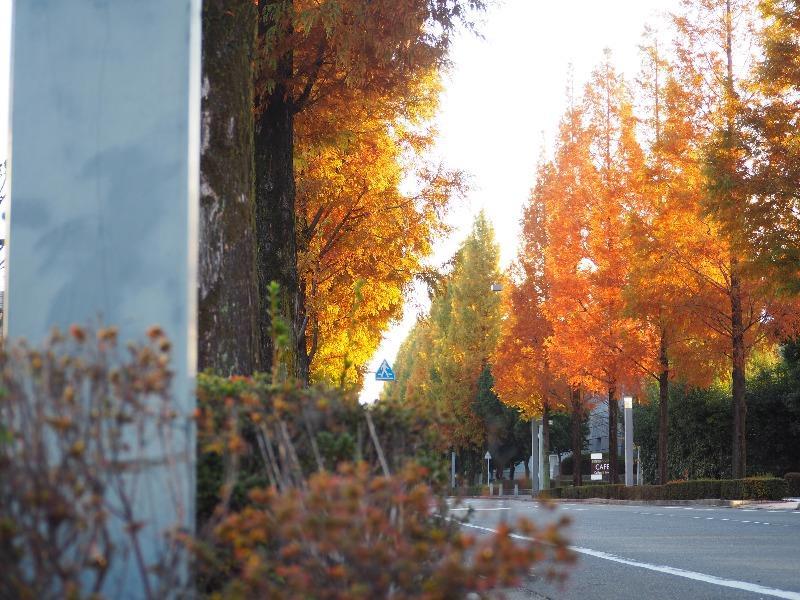 ソフトピアジャパン メタセコイア並木(4)