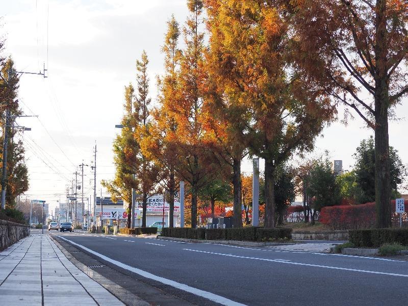ソフトピアジャパン メタセコイア並木(5)
