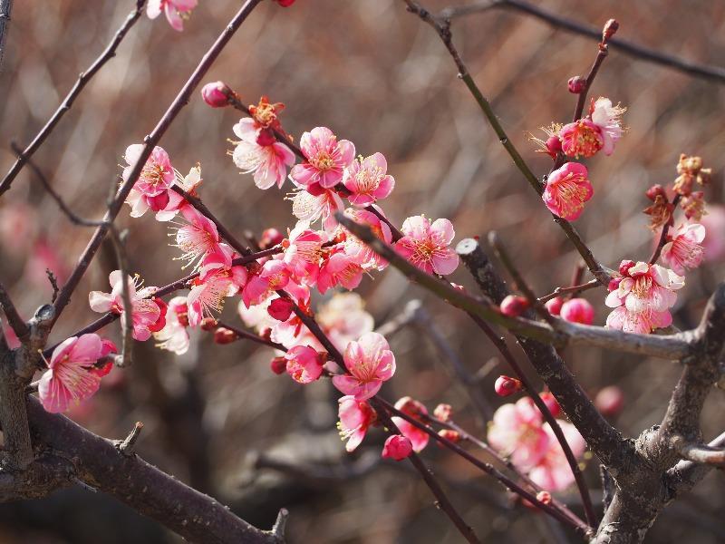 安八 百梅園「梅まつり」