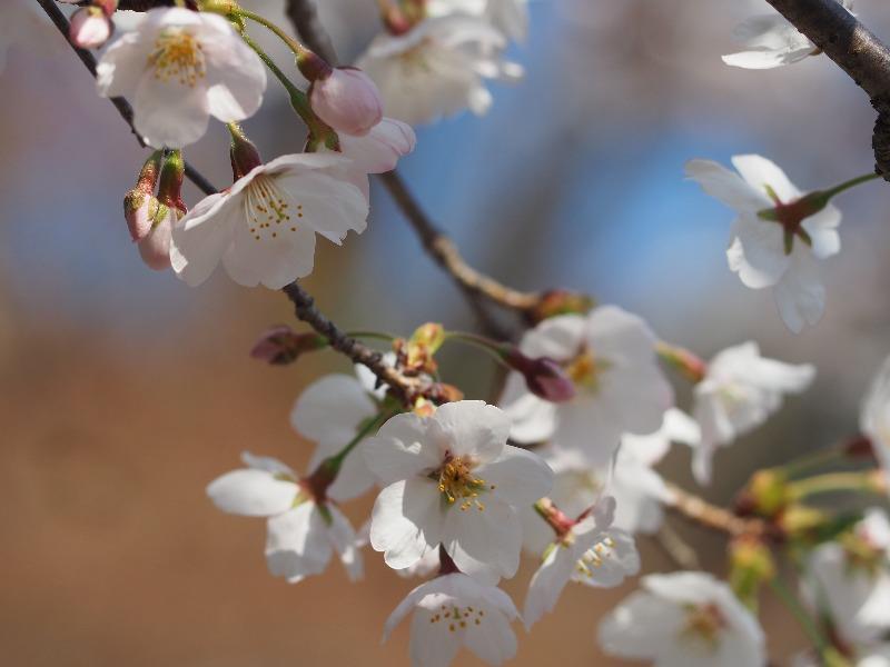 岐阜公園 桜