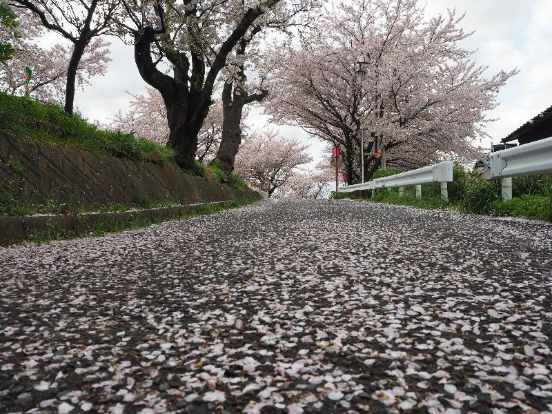 墨俣 犀川堤 桜のじゅうたん