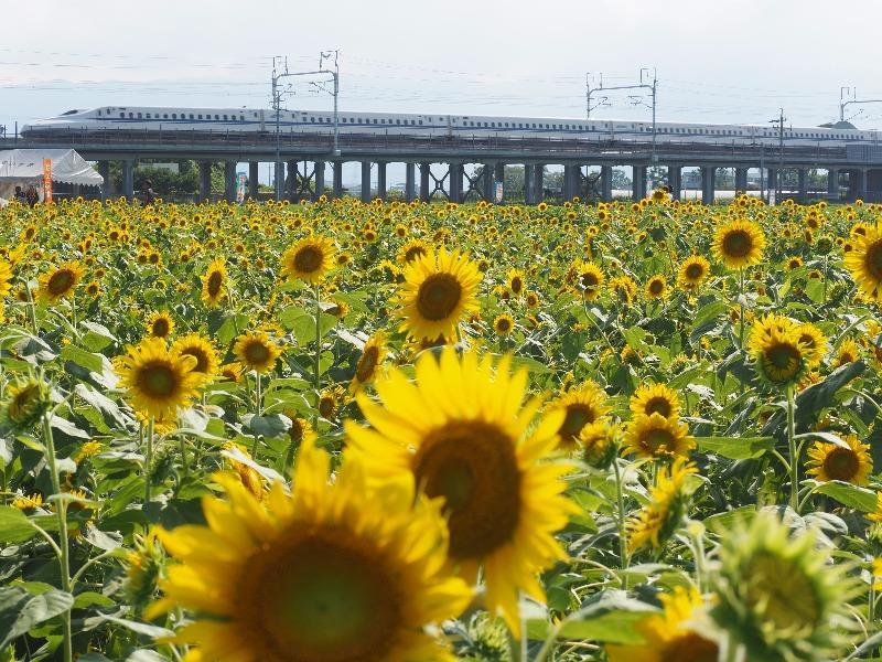 大垣ひまわり畑(2)東海道新幹線