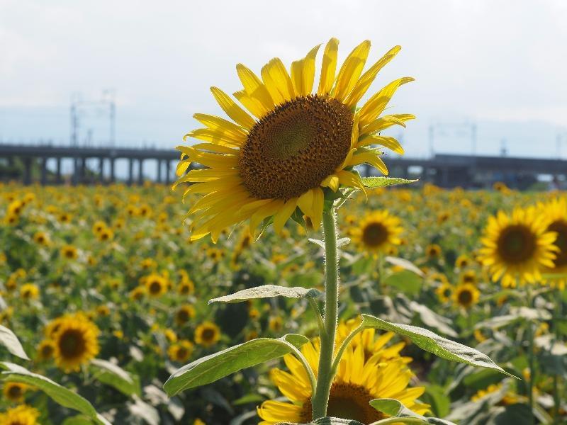 大垣ひまわり畑(1)