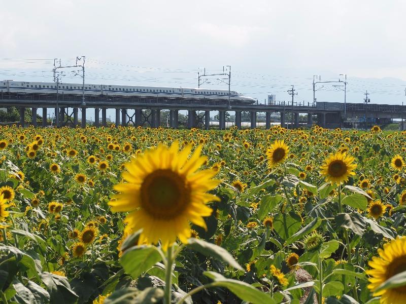 大垣ひまわり畑(3)東海道新幹線