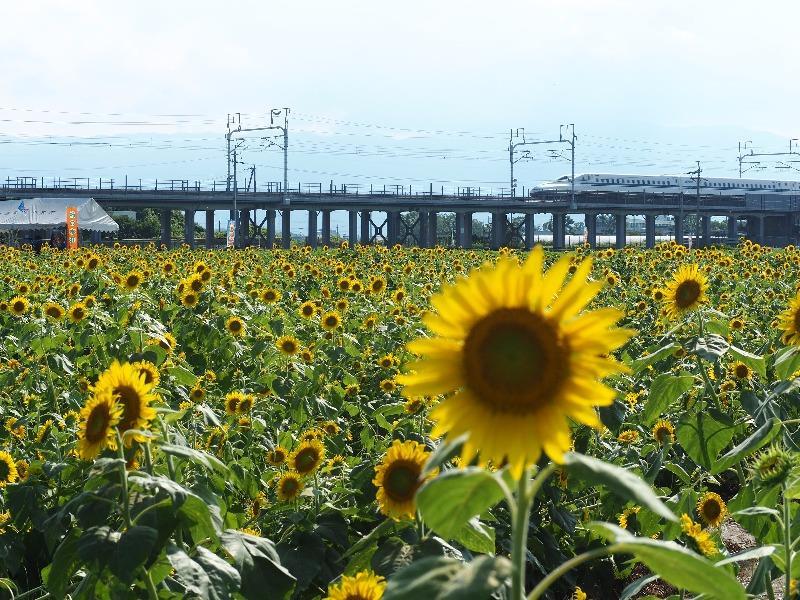 大垣ひまわり畑(4)東海道新幹線