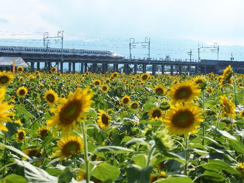 大垣ひまわり畑 東海道新幹線