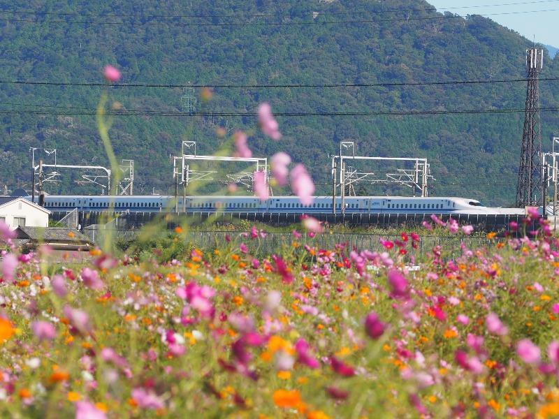 野田町コスモス畑 東海道新幹線(1)