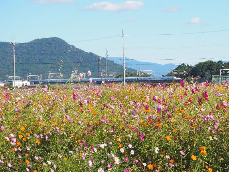 野田町コスモス畑 東海道新幹線(2)