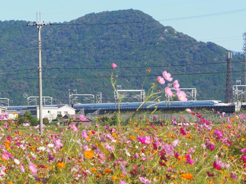 野田町コスモス畑 東海道新幹線(3)