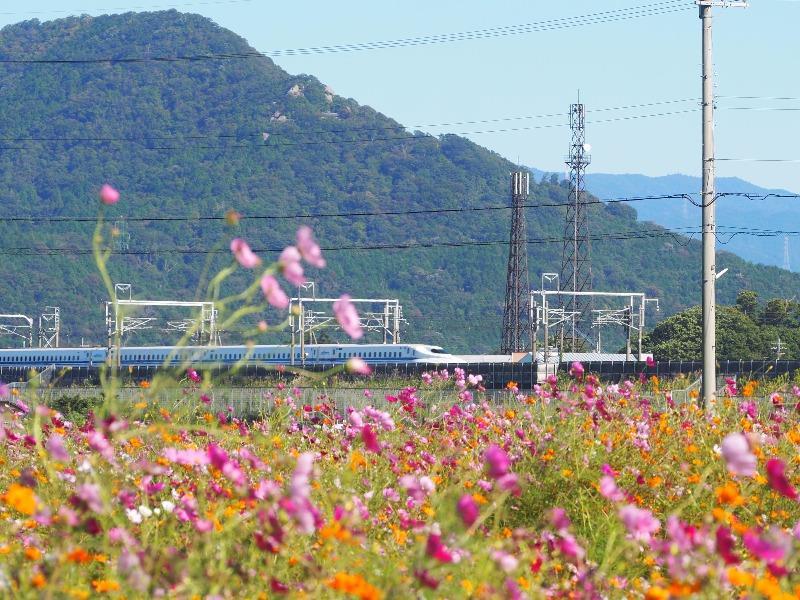 野田町コスモス畑 東海道新幹線(4)