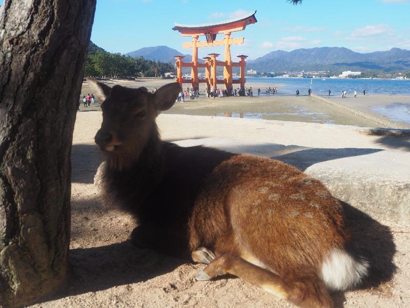 宮島 厳島神社 大鳥居、鹿