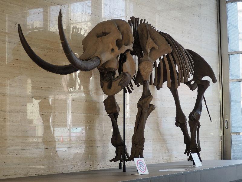四日市市立博物館 アケボノゾウ骨格標本(複製)