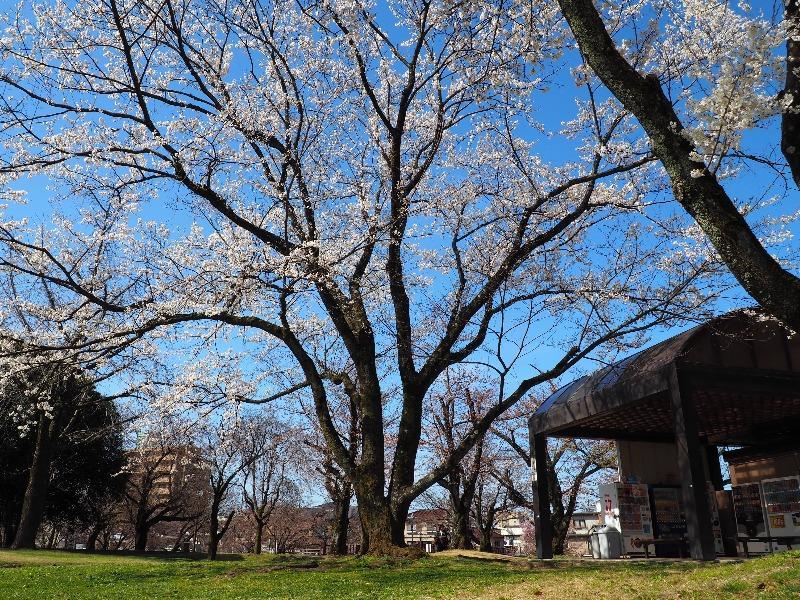 各務原市民公園 桜(3)