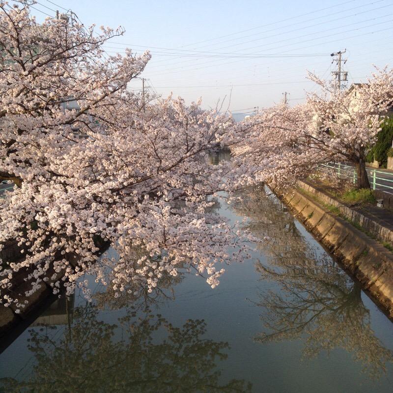 輪之内文化会館(プラネットプラザ)中之江川 桜(1)