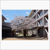 4月13日 高山市内の桜の画像