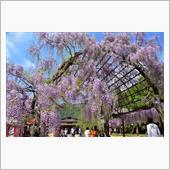 和気町藤公園の画像