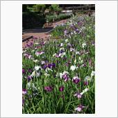 高瀬裏川の花菖蒲と紫陽花&石橋の画像
