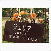 ジュリアという薔薇の画像