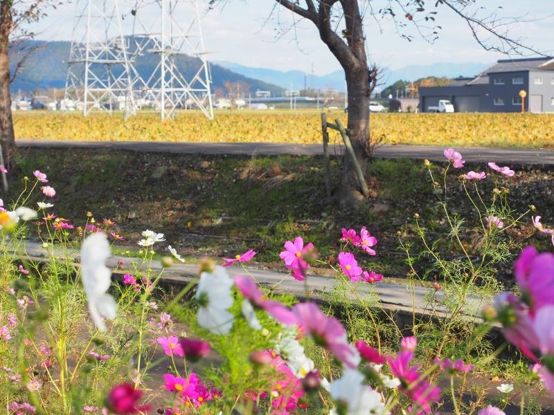 野田町 コスモス畑 東海道新幹線(1)