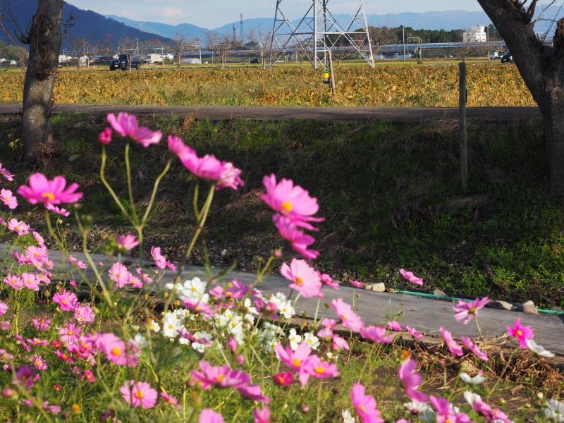 野田町 コスモス畑 東海道新幹線(2)