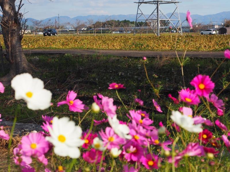 野田町 コスモス畑 東海道新幹線(3)