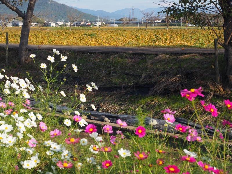 野田町 コスモス畑 東海道新幹線(4)
