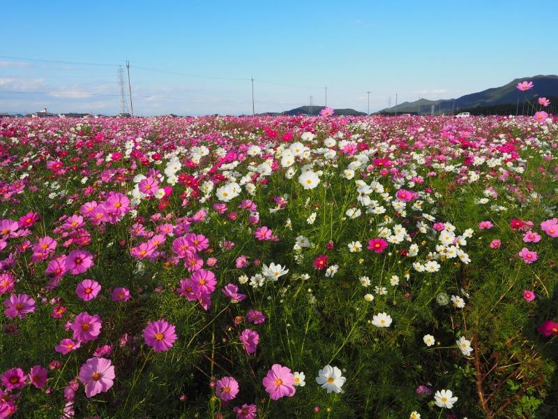 野田町 コスモス畑(1)