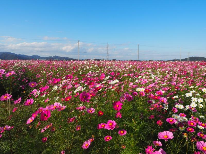 野田町 コスモス畑(2)