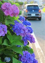 [トゥインゴ]紫陽花とTWINGO・・・オマケも