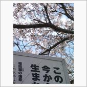 福岡堰の桜。の画像